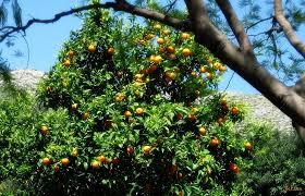 Stablo naranče – CarlosFuentes